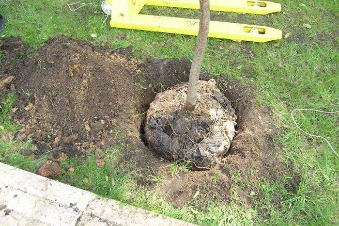 Можно ли сажать весной плодовые деревья 74