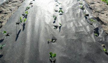 На фото посадка клубники на агроволокно, mtdata.ru