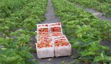 Урожай клубники с агроволокна, mtdata.ru