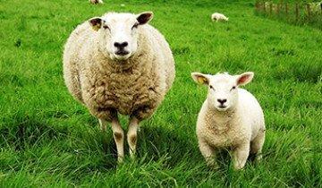 Эффективное разведение и выращивание овец в домашних условиях