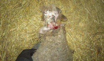Фотография раненой овцы, zootehnikoff.ru