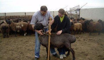 На фото суягные овцы, narod.ru