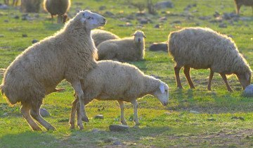 Фотография процесса спаривания овец, livejournal.com