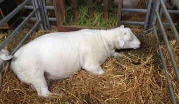 Фото беременной овцы, blogspot.com