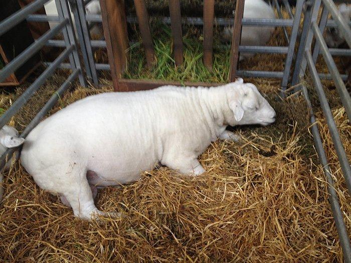 Разведение овец в домашних условиях подробно видео - Str24.ru