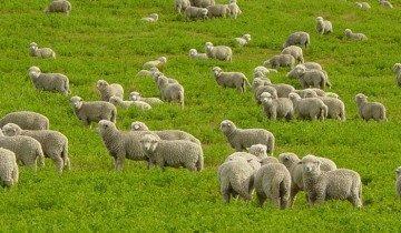 Фото овец на выпасе, bytrina11.ru