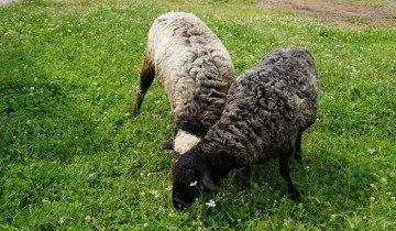Фотография пасущихся овец, livejournal.com