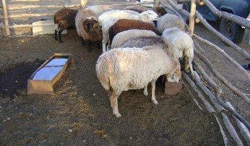 Фото овец на водопое, fermer.ru