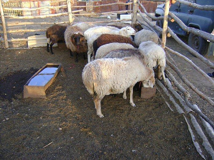 Овцы на мясо в домашних условиях 321