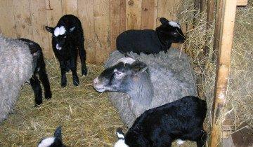 Стойловой период у овец, ibc.by