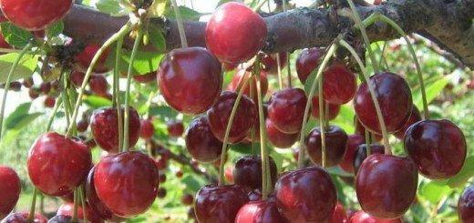 Урожай черешни, yagodi-frukti.ru