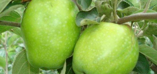 Сорт Зимнее лимонное