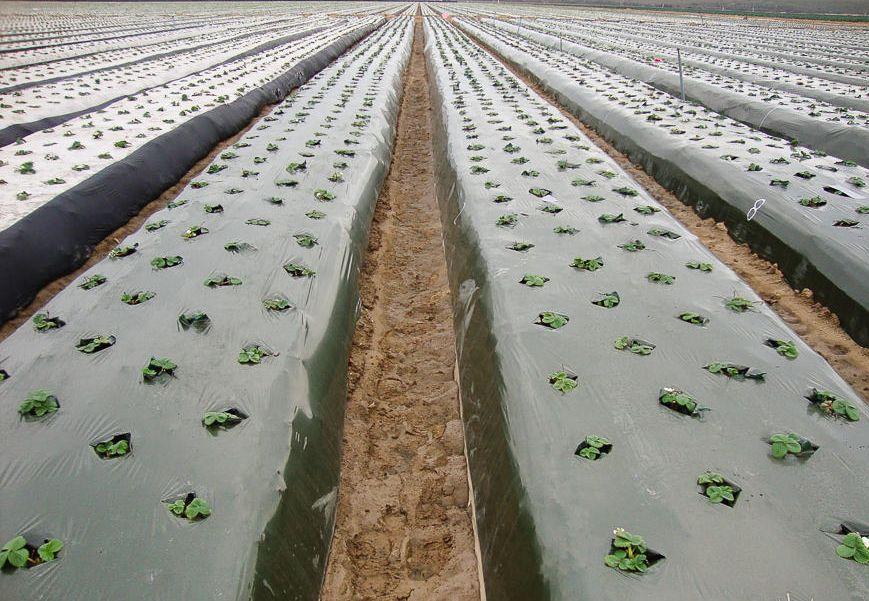Черная пленка для выращивания клубники 739