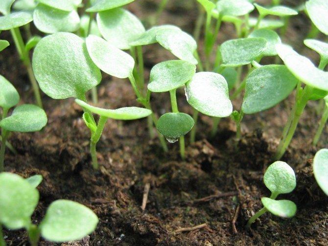 Виола выращивание рассады из семян в домашних условиях