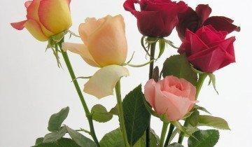 Розы в вазе, vsezdorovo.com
