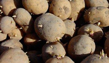 Подготовка картофеля к посадке и почвы под картофель — не сложна и для горожанина