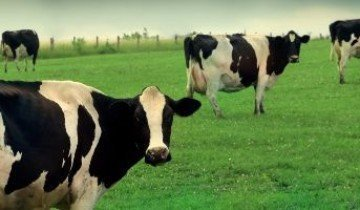 Абердин-ангусская порода коров и другие мясной направленности в животноводстве