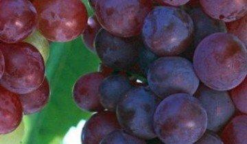 Какой должна быть подкормка винограда, чтобы получить богатый урожай