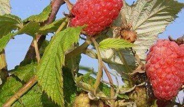Обработка малины осенью или маленькие секреты для большого урожая
