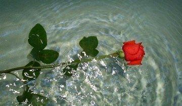 Сначала поместите розы в воду, www.lifeisphoto.ru