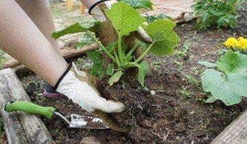 Высадка тыквы в открытый грунт