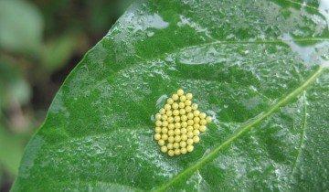 Личинки на листьях тыквы