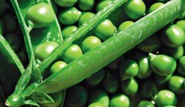 Горох овощной ( Pisum sativum L. ), сорт Абадор
