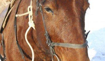 Больная лошадь отказывается от еды, static.ngs.ru