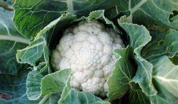 Целебные свойства цветной капусты