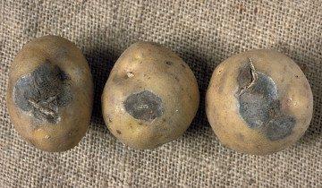 Сухая гниль на картофеле, unece.org