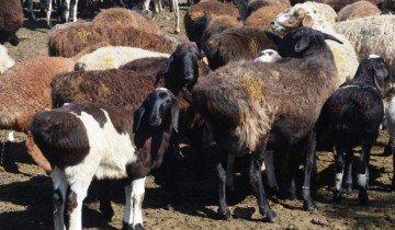 Курдючные овцы, colxoz.com