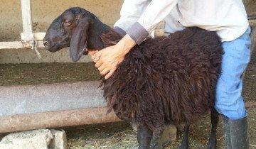 Осмотр гиссарской овцы, postimg.org
