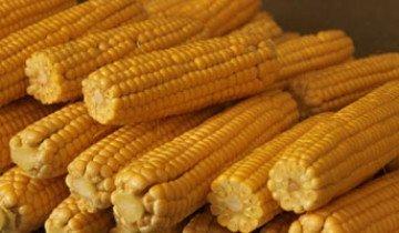Технология возделывания кукурузы – как получить большой урожай початков и много силоса