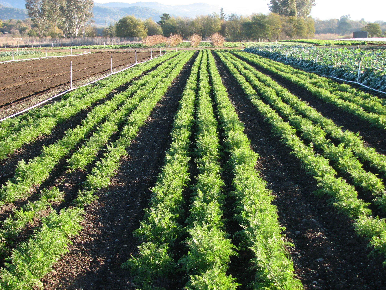 Морковь: выращивание, посадка и уход. Сорта моркови 93