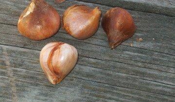 Отборные луковицы тюльпанов, kingsad.files.wordpress.com