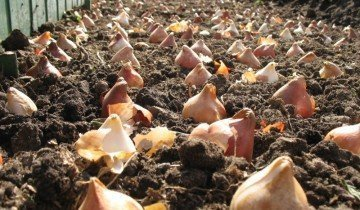 Посадка высокорослых сортов тюльпана, rozanbs.com