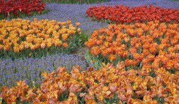 Посадка тюльпанов группами, art-pen.ru