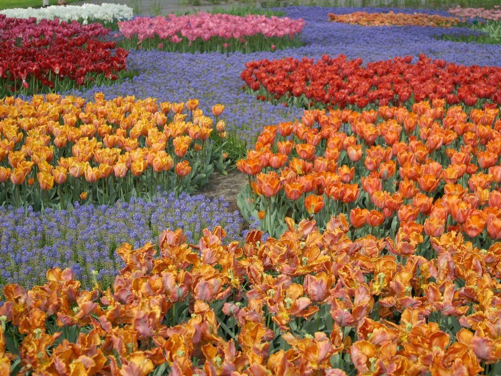 Тюльпаны на каком расстоянии сажать
