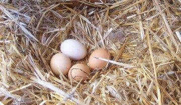 Куринные яйца, chickencoopguides.com