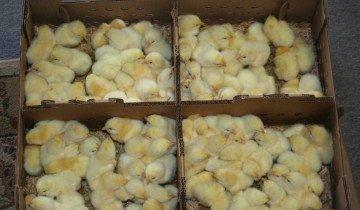Цыплята в коробках, wordpress.com