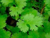 Кориандр – выращивание кинзы от А до Я