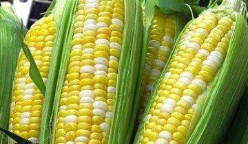 Сорта кукурузы — выбираем наиболее урожайные и вкусные!