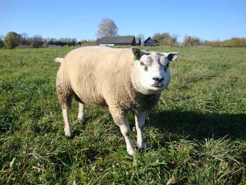 Овечья овцы мясных пород в белоруссии первым годиком чудесным