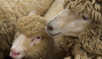 Красивые и здоровые овцы, megalife.com.ua