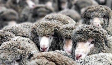 Много здоровых овец, spoki.tvnet.lv