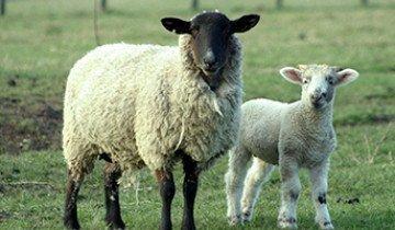 Какие бывают болезни овец и их лечение  для предупреждения осложнений