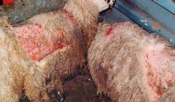Больные овцы, fwi.co.uk