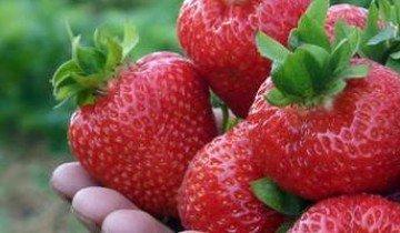 Сорта клубники с особенно сладкими и ароматными ягодами — восторг и мечта садовода