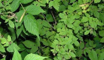 Чай из листьев малины, wikimedia.org