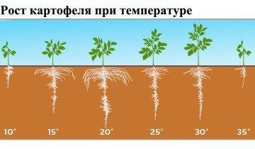 Как растет картофель при разной температуре, yara.us